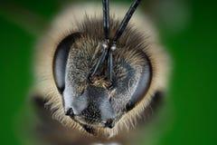 Macro del extremo de la abeja Foto de archivo libre de regalías