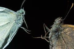 Macro del extremo de la cara de la mariposa Imágenes de archivo libres de regalías