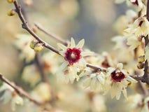 Macro del fiore del Chimonanthus, wintersweet, genere delle angiosperme nella famiglia Calycanthacea fotografia stock