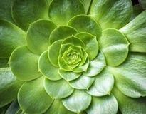 Macro del fiore del cactus Fotografie Stock