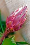 Macro del fiore del cactus Fotografie Stock Libere da Diritti
