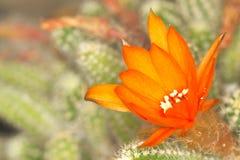 Macro del fiore del cactus con struttura chiara Fotografia Stock Libera da Diritti