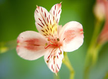 Macro del fiore del giglio di alstroemeria della primavera Immagini Stock Libere da Diritti