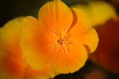 Macro del fiore del papavero di California immagini stock