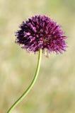 Macro del fiore del porro a testa tonda Fotografia Stock