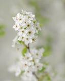 Macro del fiore dell'albero di pera fotografia stock