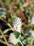 Macro del fiore dell'amaranto Fotografia Stock
