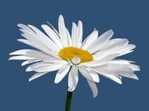 Macro del fiore della camomilla Fotografie Stock