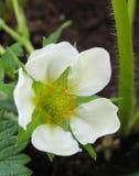 Macro del fiore della fragola Fotografia Stock Libera da Diritti