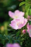 Macro del fiore della rosa canina immagini stock libere da diritti