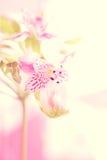 Macro del fiore di Alstroemeria Fotografie Stock Libere da Diritti