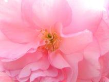 Macro del fiore di ciliegia Fotografie Stock Libere da Diritti