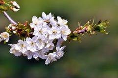 Macro del fiore di ciliegia Fotografia Stock