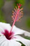 Macro del fiore di Hybiscus con i pistilli e lo stame immagini stock