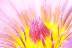 Macro del fiore di loto Fotografia Stock