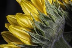 Macro del fiore di Sun Fotografie Stock