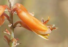 Macro del fiore di vera dell'aloe con bokeh ed il fondo del bokeh Immagini Stock