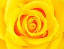 Macro del fiore giallo perfetto della Rosa Immagini Stock Libere da Diritti