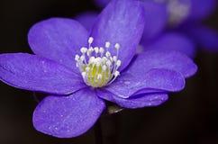 Macro del fiore porpora Fotografie Stock Libere da Diritti