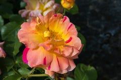 Macro del fiore rosa fantastico nel parco italiano fotografia stock
