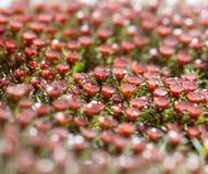 Macro del fiore rosso del muschio Fotografie Stock
