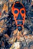 Macro del Firebug Fotografia Stock Libera da Diritti