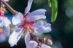 Macro del flor blanco de la almendra en primavera Imágenes de archivo libres de regalías