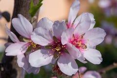 Macro del flor blanco de la almendra en primavera Fotos de archivo libres de regalías