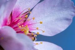 Macro del flor blanco de la almendra en primavera Foto de archivo