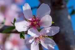 Macro del flor blanco de la almendra en primavera Fotografía de archivo libre de regalías