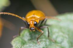 Macro del foco anaranjado del color del insecto del insecto en el ojo fotografía de archivo