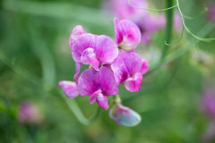 Macro del foco selectivo de la flor del guisante de olor foto de archivo