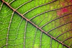 Macro del foglio del Poinsettia. Fotografie Stock Libere da Diritti