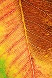 Macro del foglio di autunno Fotografie Stock Libere da Diritti