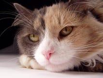 Macro del fronte del gatto Fotografie Stock