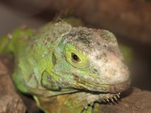 Macro del fronte dell'iguana Fotografia Stock Libera da Diritti