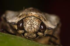 Macro del fronte dello scarabeo Fotografia Stock Libera da Diritti