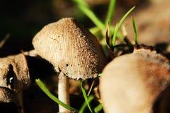Macro del fungo Immagini Stock Libere da Diritti