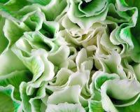 Macro del garofano Fotografia Stock