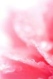 Macro del garofano bagnato Immagine Stock