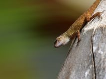 macro del gecko immagini stock