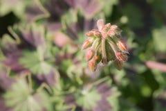 Macro del germoglio di fiore Fotografia Stock Libera da Diritti