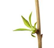 Macro del germoglio di foglia di fioritura Immagini Stock