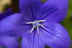 Macro del grandiflorus de Platycodon de la flor Fotografía de archivo
