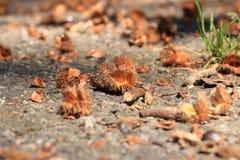 Macro del hayuco de Brown en otoño en piso imagen de archivo