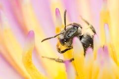 Macro del insecto de la abeja Fotos de archivo libres de regalías
