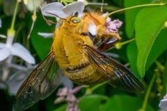 Macro del insecto de la abeja (abejorro) Fotos de archivo libres de regalías