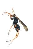 Macro del insecto de la avispa aislada en blanco Fotografía de archivo libre de regalías