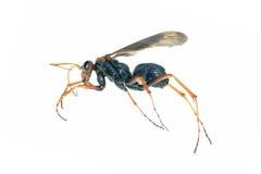 Macro del insecto de la avispa aislada en blanco Imagenes de archivo