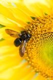 Macro del insecto en la cabeza del girasol Fotografía de archivo